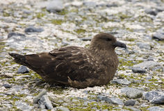 Great Skua - Antarctica. Great Skua on Deception Island in Antarctica Stock Photo