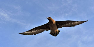 Great Skua Royalty Free Stock Photos