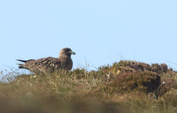 A Great Skua Catharacta skua sitting on top of a hillside on the Orkney Island of Hoy, Scotland. Stock Photography