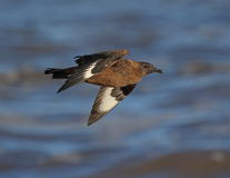 Great Skua Stock Photo