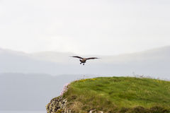 Great skua Royalty Free Stock Photo