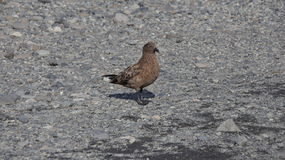 Great Skua. Picture of Great Skua on the ground in Iceland stock photography