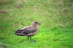 Great skua, Shetland Stock Photo