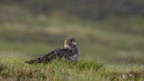 Great skua stock video