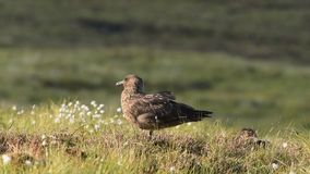 Great skua stock footage