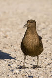 Great Skua (Stercorarius skua) Stock Photos