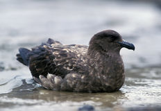 Great skua ( Stercorarius skua ) Royalty Free Stock Photo