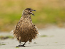 Great skua (Stercorarius skua) Stock Images