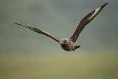 Great skua (Stercorarius skua) Stock Photo