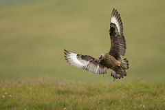 Great skua (Stercorarius skua) Stock Image