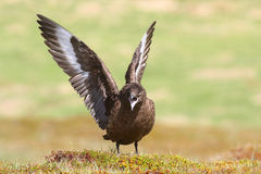 Great Skua (Stercorarius skua) displaying Stock Photos