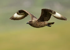 Great skua (Stercorarius skua) Royalty Free Stock Photos