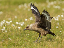 Great Skua (Stercorarius skua) Royalty Free Stock Photo