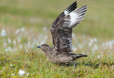 Great Skua (Stercorarius skua) on Runde Island Royalty Free Stock Photography