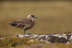 Great skua, Stercorarius skua, Royalty Free Stock Photography