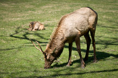 Great Smoky Mountains National Park Elk Wildlife. Photography in Cataloochee Valley Stock Photos