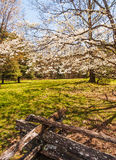 Great Smoky Mountains National Park. Large dogwood tree in full bloom.   Spring in Cades Cove Royalty Free Stock Photos