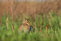 Great Snipe. Gallinago media. Royalty Free Stock Photography