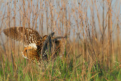Great Snipe. Gallinago media. Displaying male. Royalty Free Stock Photos
