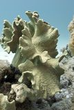 Great soft coral in red sea Stock Image