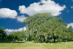 Great Southern Oak. A great southern oak tree with spanish moss and beautiful blue sky Royalty Free Stock Images