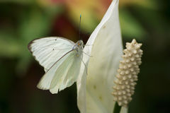 Great Southern White Royalty Free Stock Images