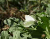 The great southern white, Ascia monuste, butterfly Royalty Free Stock Images