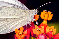 Great Southern White,Ascia monuste Royalty Free Stock Images