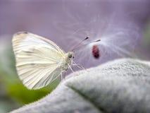 Great Southern White,Ascia monuste Royalty Free Stock Image