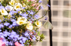 Great southern white butterfly, Ascia monuste Royalty Free Stock Photography