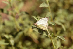 Great southern white butterfly, Ascia monuste Royalty Free Stock Image