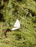 Great southern white butterfly, Ascia monuste Stock Image