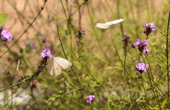 Great southern white butterfly, Ascia monuste Royalty Free Stock Photos