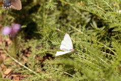 Great southern white butterfly, Ascia monuste Stock Images