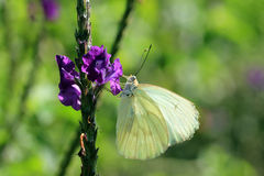 Great Southern White Butterfly Royalty Free Stock Image