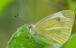 Great Southern White butterfly royalty free stock photo