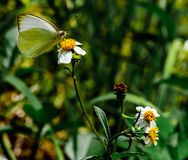 Great Southern White in Nature`s Garden. A close up of a great southern white butterfly on a shepherd`s needle wildflower with a blur of vegetation in the royalty free stock images