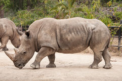 Great southern white rhinoceros. Royalty Free Stock Photos