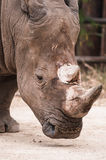 Great southern white rhinoceros. Royalty Free Stock Photography