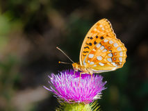 Great Spangled Fririllary feeding itself on a purple thistle Royalty Free Stock Photography