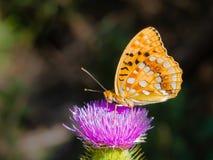 Great Spangled Fririllary feeding itself on a purple thistle. Orange butterfly Great Spangled Fririllary, Speyeria cybele, Nymphalidae family feeding on purple Royalty Free Stock Photography