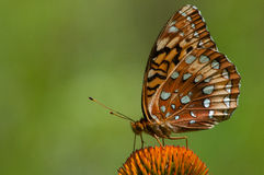 Great Spangled Fritallary. Feeding on a wildflower royalty free stock photography