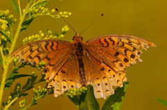 Great Spangled Fritallary. Feeding on a wildflower royalty free stock image