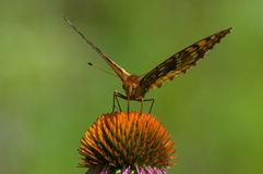 Great Spangled Fritallary. Feeding on wildflowers royalty free stock photo