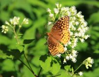 Great Spangled Fritelary Butterfly. A Great Spangled Fritelary Butterfly sitting on a white flower along the Blue Ridge Parkway in South Carolina, USA Royalty Free Stock Photography