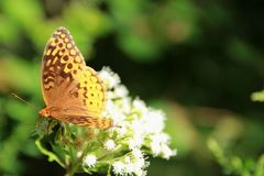 Great Spangled Fritilary Butterfly. A Great Spangled Fritilary Butterfly sitting on a white flower along the Blue Ridge Parkway in South Carolina, USA Royalty Free Stock Photo