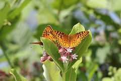 Great Spangled Fritillaries Butterflies. Two Great Spangled Fritillaries eating from a milkweed plant Royalty Free Stock Photos