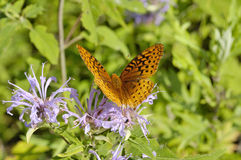 Great Spangled Fritillary Royalty Free Stock Images