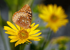 Great Spangled Fritillary Royalty Free Stock Photos