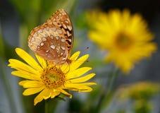 Great Spangled Fritillary Royalty Free Stock Photos